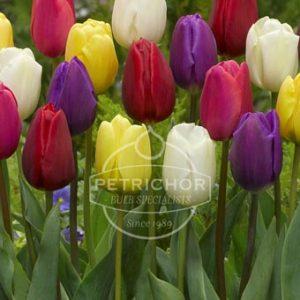 Tulips General